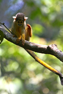 Squirrel Monkey seen during Fauna Forever Primate Survey