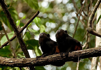 Saddleback Tamarins seen during a Fauna Forever primate survey