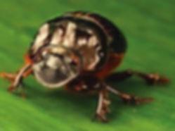 Dung beetle Dichotomius boreus (Trond La