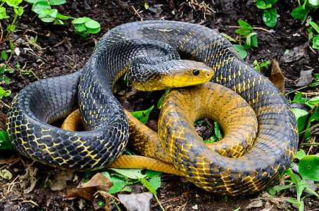 A Yellow-tailed Cribo (Drymarchon corais) found during a Fauna Forever snake survey