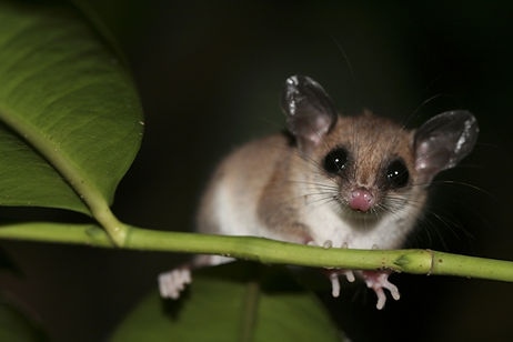 Mouse Opossum see during Fauna Forever mammal transect