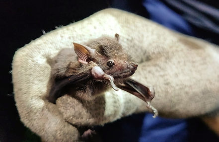 Greater Sac-winged Bat (Saccopteryx bilineata) caught during a Fauna Forever neotropical bat survey