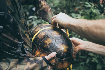 A Yellow-footed Tortoise being examined by a coordinator after being caught during a nightime river survey