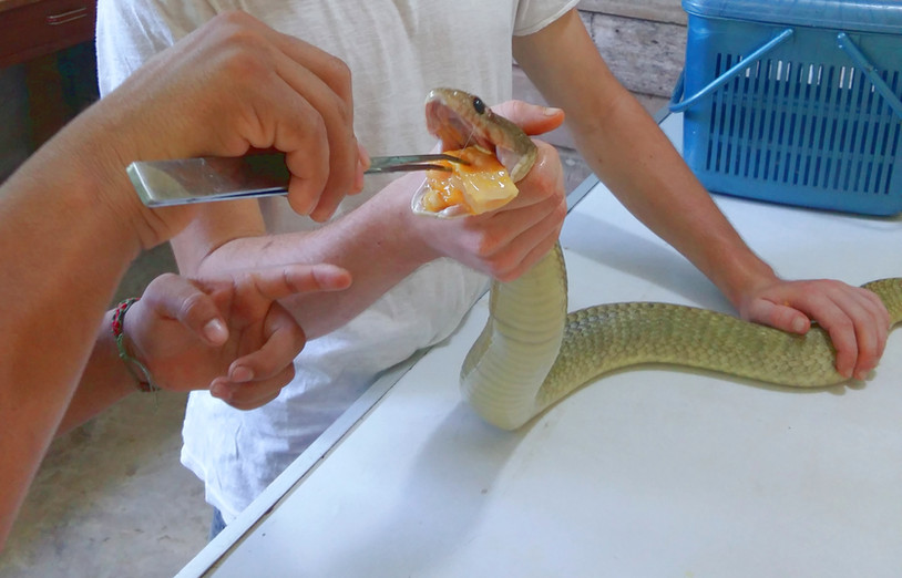 A volunteer (Jake) helping to feed an injured snake. Force feeding is only required when animals may be stressed, such as when they first arrive at the centre (Photo: Chris Kirkby)