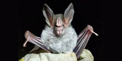 Fauna Forever - Bat team - Chrotopterus auritus (Chris Ketola)