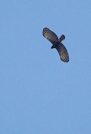 Black hawk-eagle or Spizaetus tyrannus (
