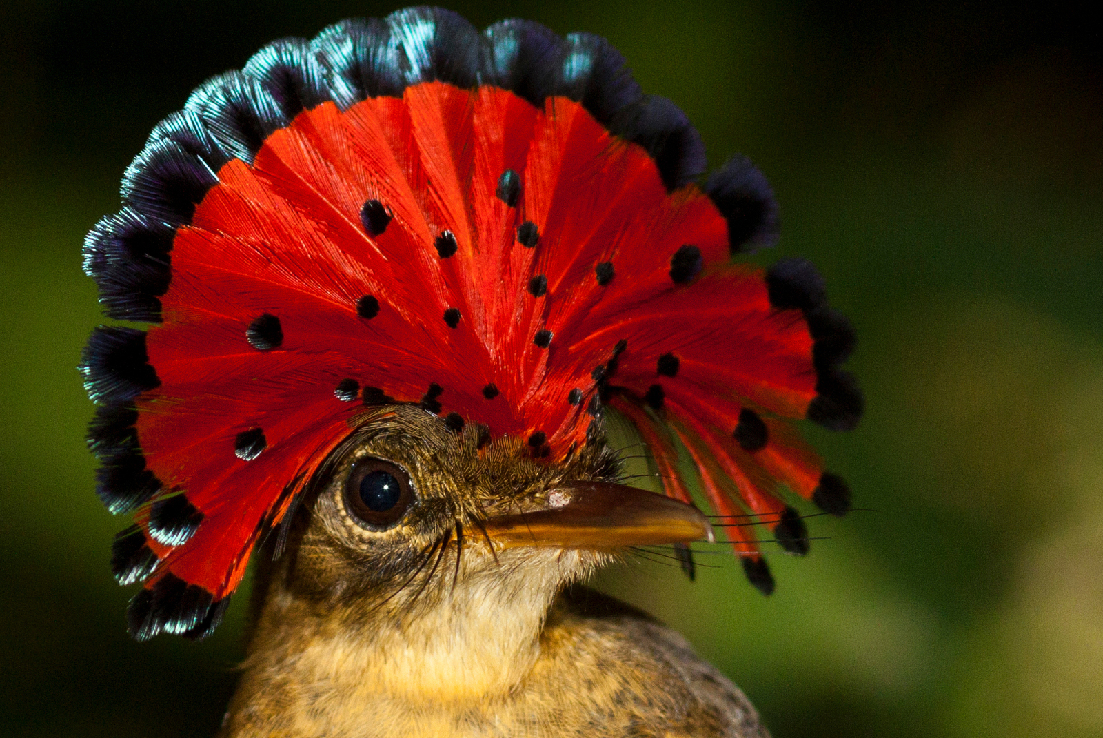 Birds - Royal Flycatcher (Tom Ambrose) smaller