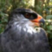 White-browed hawk or Leucopternis kuhli