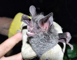 Stripe-headed Round-eared Bat (Tonatia saurophila) being held during a Fauna Forever neotropical bat survey