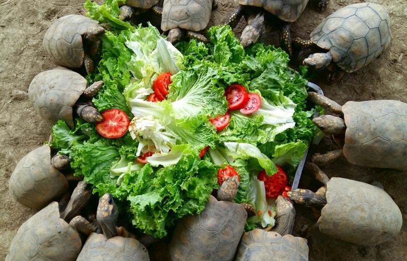 A group of Yellow-footed tortoises (Chelonoidis denticulatus) tucking into a salad (Photo: Chris Kirkby)