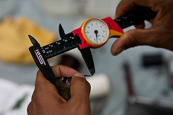 A hummingbird having its bill measured during Fauna Forever bird research activities