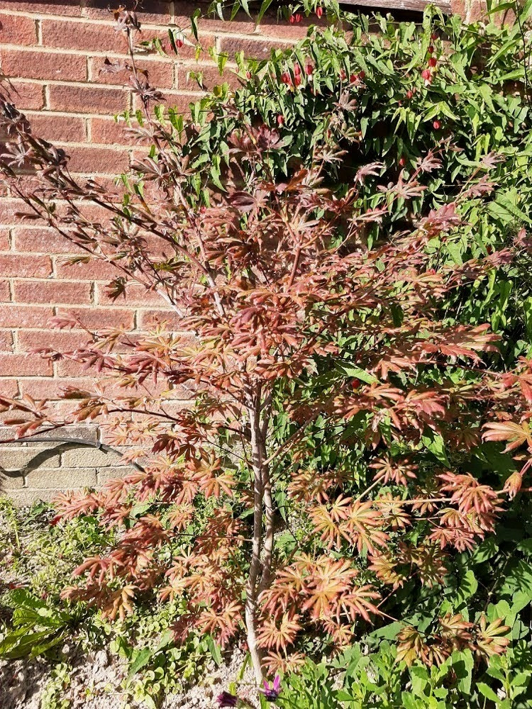 Japanese Maple Acer plant