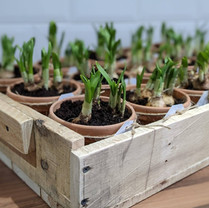Potted bulb favours