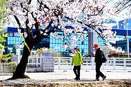 Cherry Blossom 208.JPG