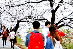 Cherry Blossom 201.JPG