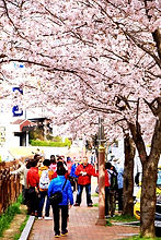 Cherry Blossom 206.JPG