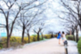 Cherry Blossom 101.jpg