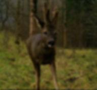 Urban Roe Deer Buckred.JPG