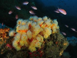 Quatre espècies de corals en perill seran protegides en el Mediterrani