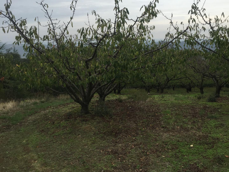 Les cerisiers près de chez nous