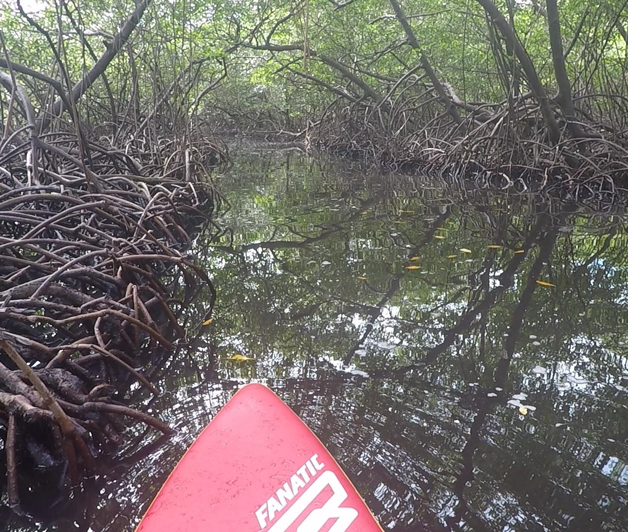 stand up dans la mangrove