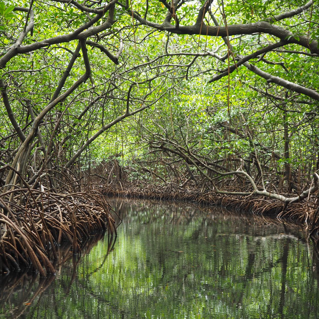 tunnel de mangrove