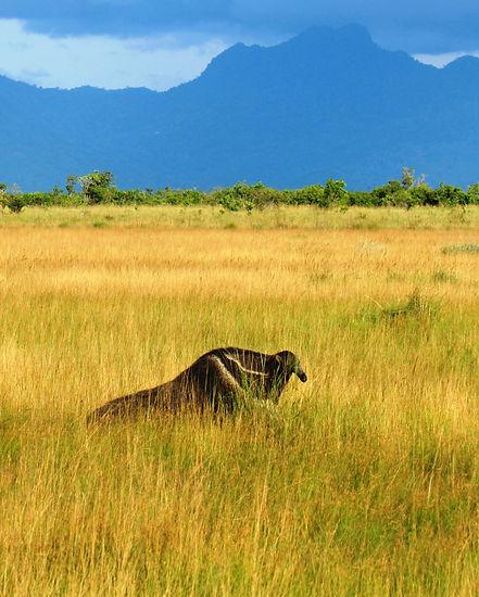 Giant Anteater in Guyana