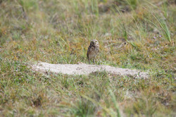 Young Burrowing Owl at the nest