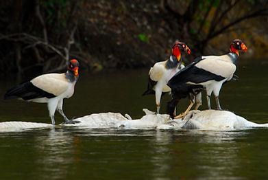 KIng Vultures gorging on Black Caiman co