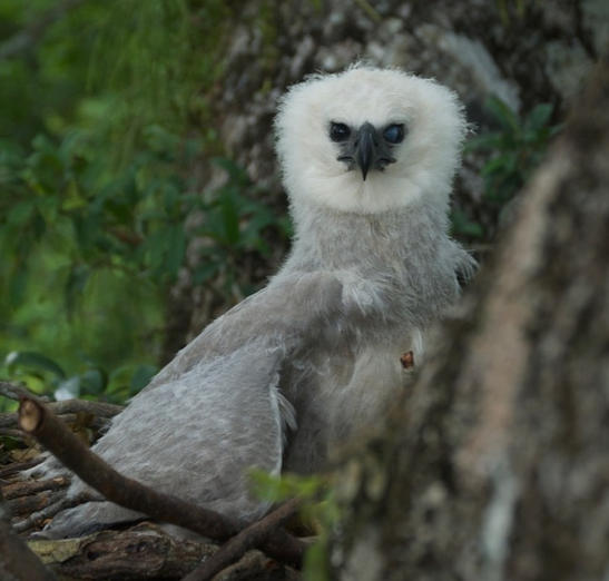 Harpy Eagle Chick on the nest