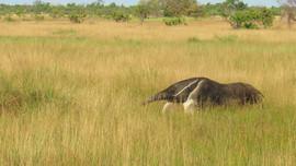 Gaint Anteater under the Kanukus