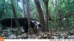 Giant anteaters research based at Wichabai