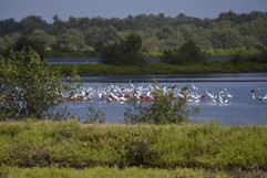 Scarlet Ibis & great and common Egrets.j