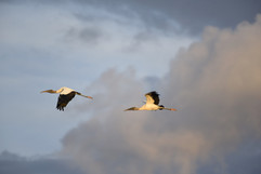 Wood Stork.jpg