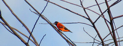 Male Red Siskin