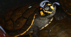 Yellow Spotted River Turtle.jpg