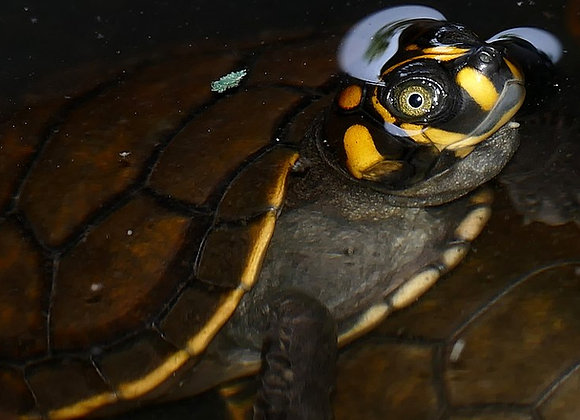 Yellow-Spotted River Turtle protection