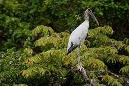 Wood Stork 1.jpg
