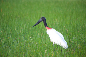 Jabiru Stork.jpg