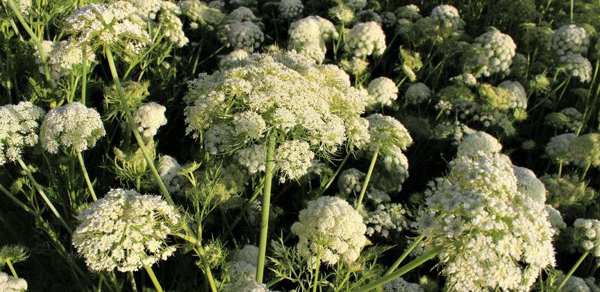 Carrot Seed Flower
