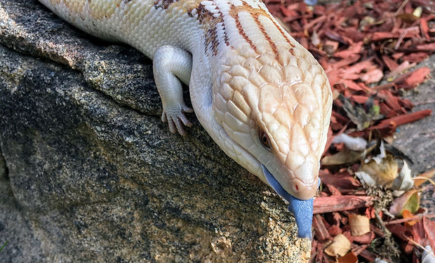 Normandy (Northern Blue Tongue Skink Male)