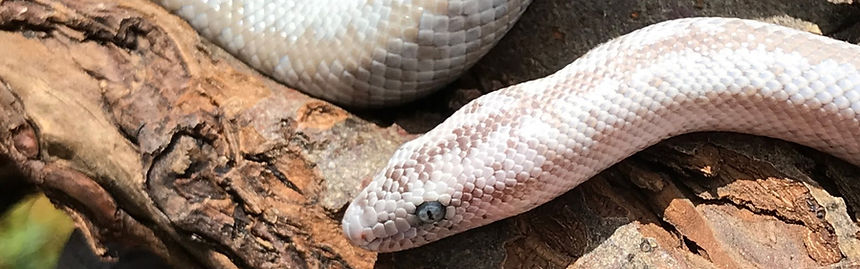 Anerythristic Pioneertown Rosy Boa