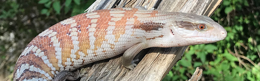 USCBB2020 Eastern Blue Tongue Skink