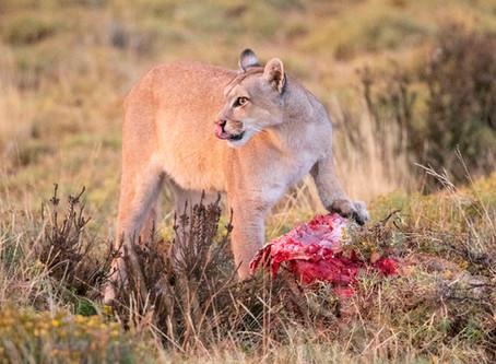 Blinca, the Puma of Torres del Paine