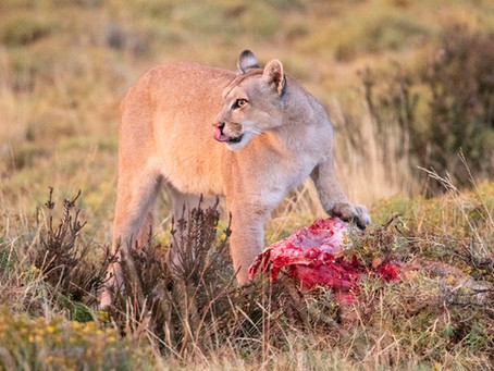 Blinca, the Puma of Torres del Paine
