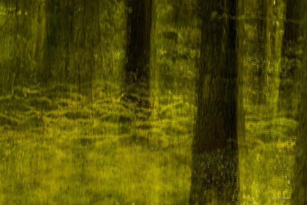 Valokuva Tarja Paldanius: Mystinen metsä