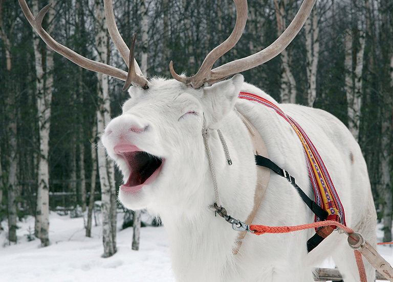 Naurava poro | Laughing reindeer