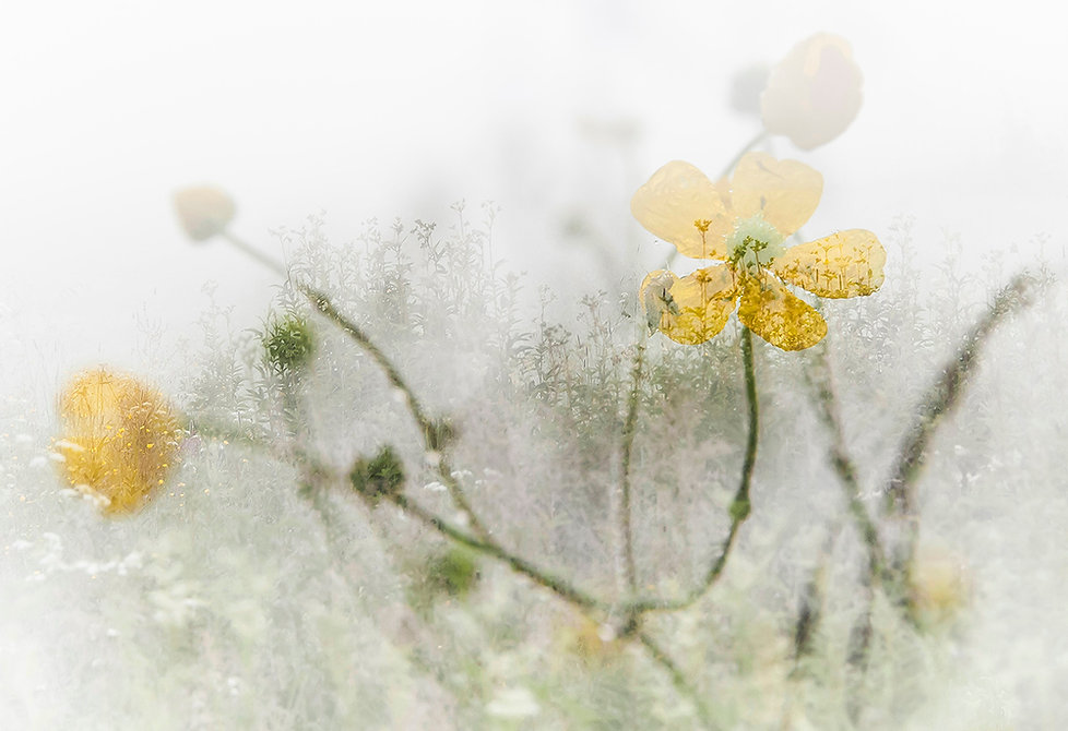 Valokuva Tuulikki Korhonen: Heinäkuun kaste