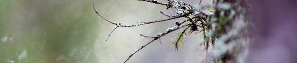 Lähikuva kuusenoksasta luontokuva Kaisa Sirén