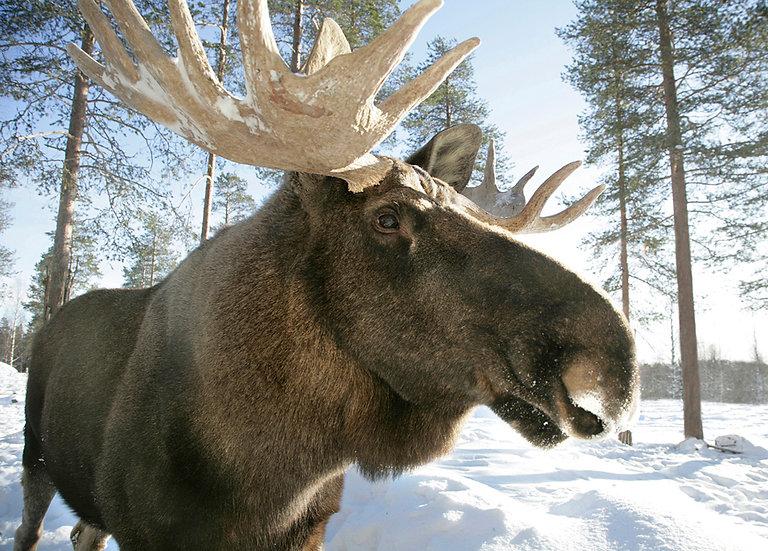 Hirviuros Sälli | Sälli-Moose in winter